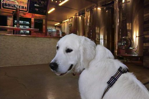 Dog in front of stainless steel tanks at Zip Kombucha in Alaska, USA.